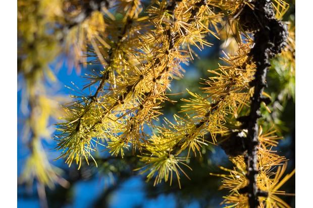 Larch tree branch against sunlight