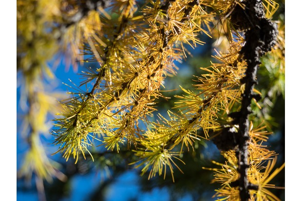 Larch tree branch against sunlight