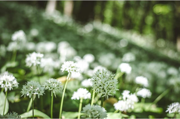 white blossoming garlic flowers in the forest