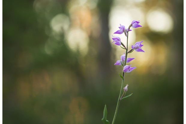 Digital photo of a blooming red helleborine, Cephalanthera rubra, pine forest blurred in the background.