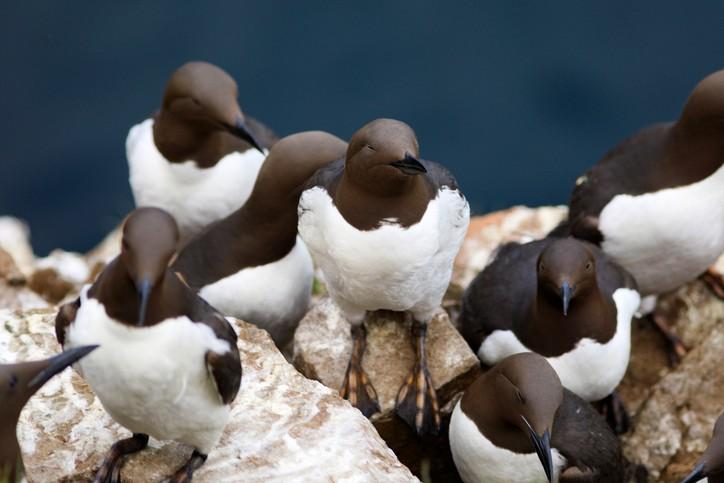 group of Guillemots on Skomer Island, Wales