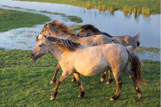 Dutch National Park Oostvaardersplassen with Konik horses passing a pool of water