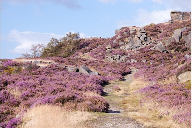 In mid and late summer, heather flowers across the landscape