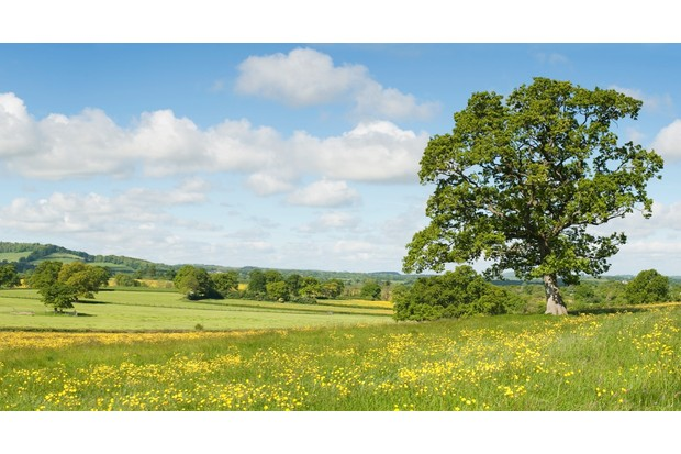 Oak tree in field of buttercups and  farmland, summer. Dorset,England.