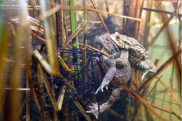 Common toads (Bufo bufo-Komplex), pair spawning, spawn and aquatic plants in a pond, pairing, Saxony-Anhalt, Germany, Europe