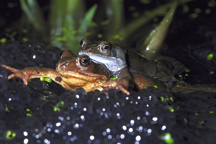 common frog rana temporaria pair in amplexus in spawn in pond. sussex. u.k