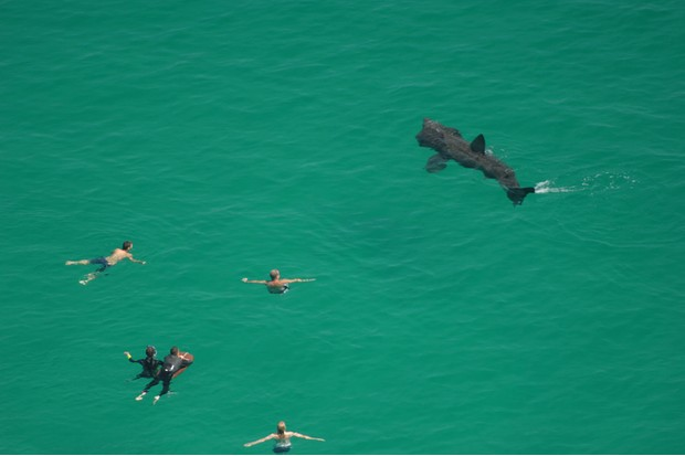 Basking Sharks, Swimmers, Porthcurno, Cornwall, England