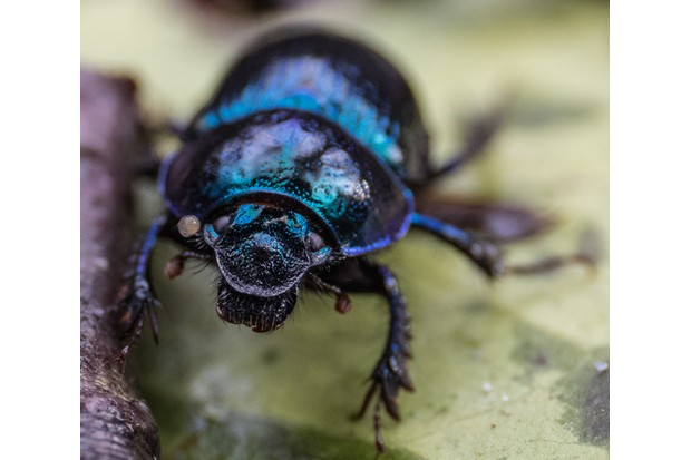 Dor Beetle (Dung Beetle) showing off its metallic carapace