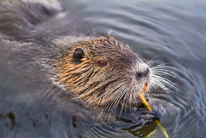 eurasian beaver, or nutria, eating in the water