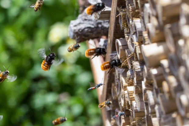 Several solitary bees flying near a bee hotel.