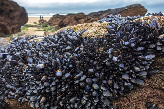 Blue Or Common Mussels On Rocks At Godrevy Beach In Cornwall, England, Britain, Uk.