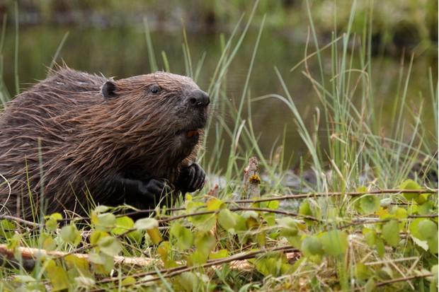 European Beaver