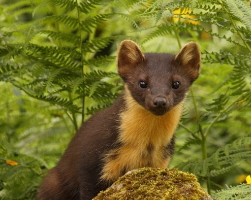 Pine Martens can be seen in the forest along the walk