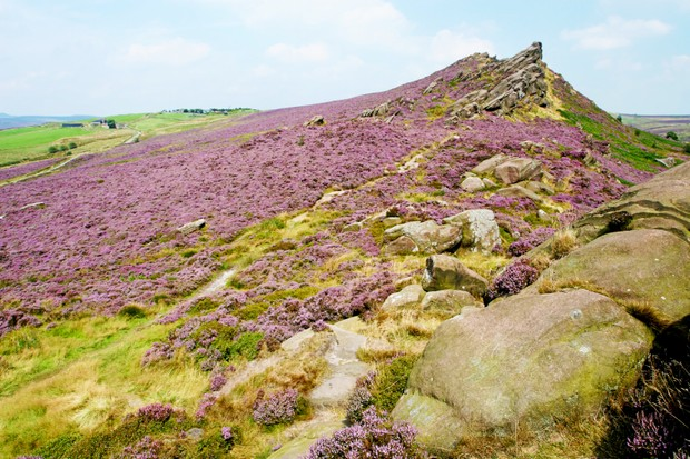 Late-summer heather on the Roaches ridgeline in the Peak District