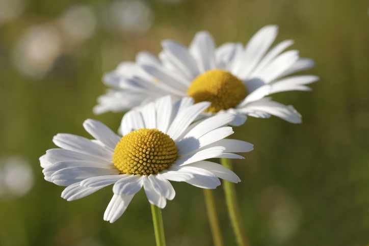 Oxeye daisy flowers closeup at sunrise (latin name: Primula)