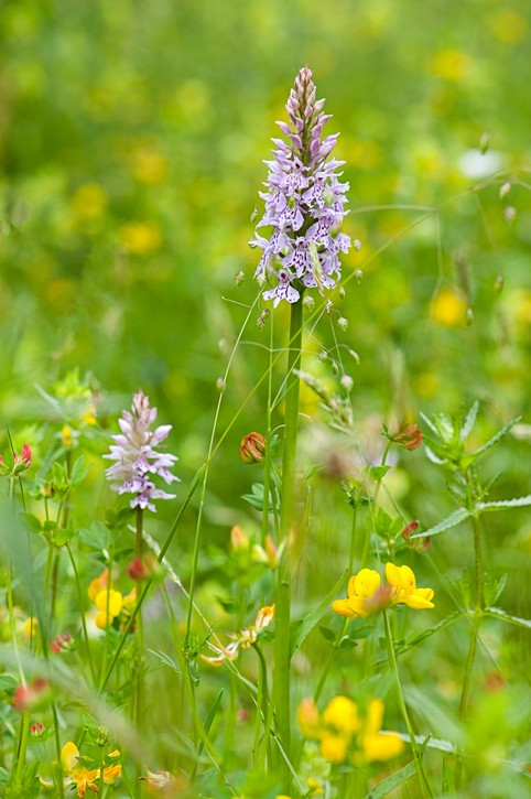 Close-up image of the spring flowering, Common Spotted Orchid purple flower also known as Dactylorhiza fuchsii