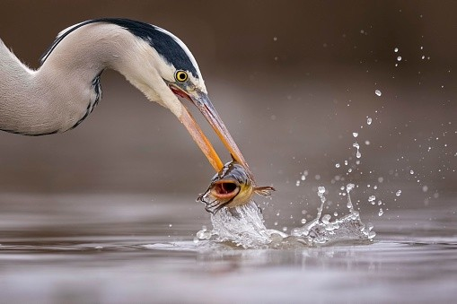 Grey heron ©Getty