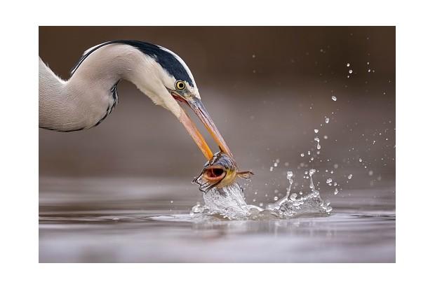 Grey heron ©Getty