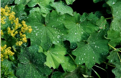Common lady's mantle (Alchemilla vulgaris / Alchemilla acutiloba) in flower