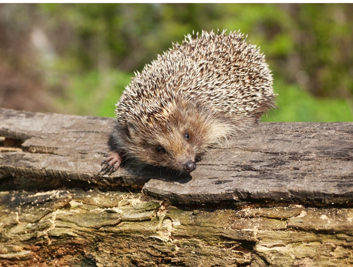 adult wilde Eastern European hedgehog (Erinaceus concolor) on the rotten log