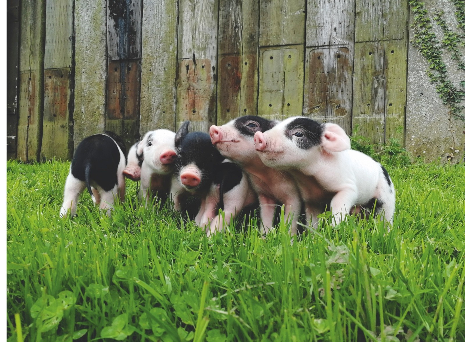 Glamrock-pigs-46971ae