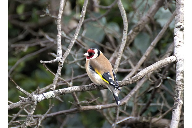 Goldfinch-61bf34a
