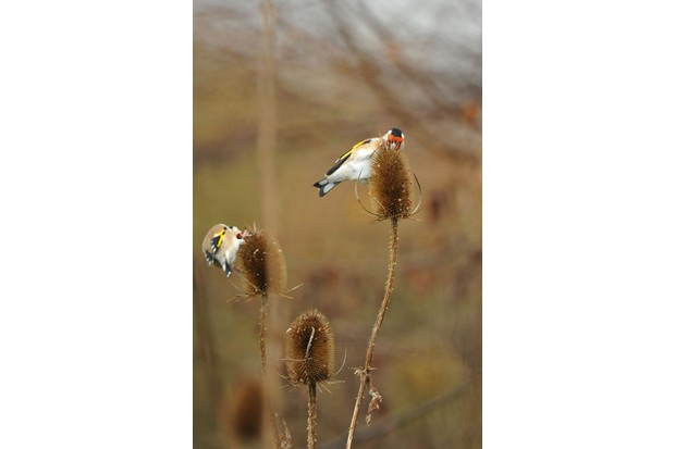 Goldfinch teasel