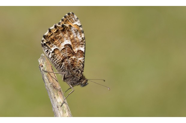 Grayling_Bob-Eade2C-Butterfly-Conservation-9f3abf3