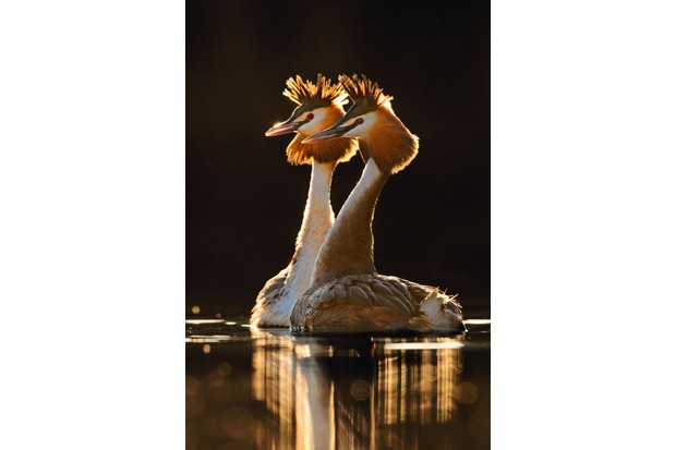 Greatcrestedgrebes-2cd622a