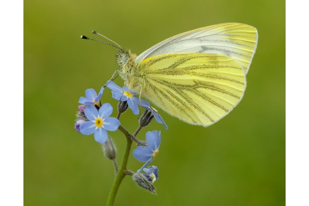 Green-veined-White_Iain-H-Leach2C-Butterfly-Conservation-fc5df72