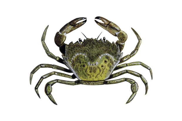 Green20Shore20Crab20Carcinus20maena01-8332b30