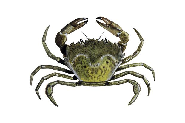 Green20Shore20Crab20Carcinus20maena01-8332b30