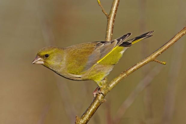 Greenfinch-cfae004