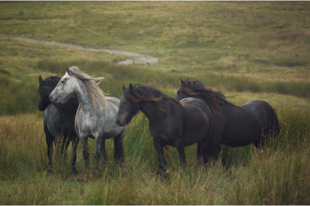 Greenholme Fell ponies