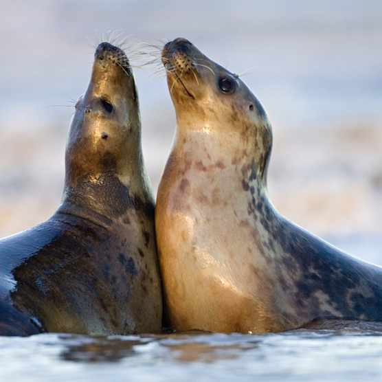 Grey Seal (Halichoerus grypus) pair playing on beach,  Donna Nook,  Lincolnshire,  England