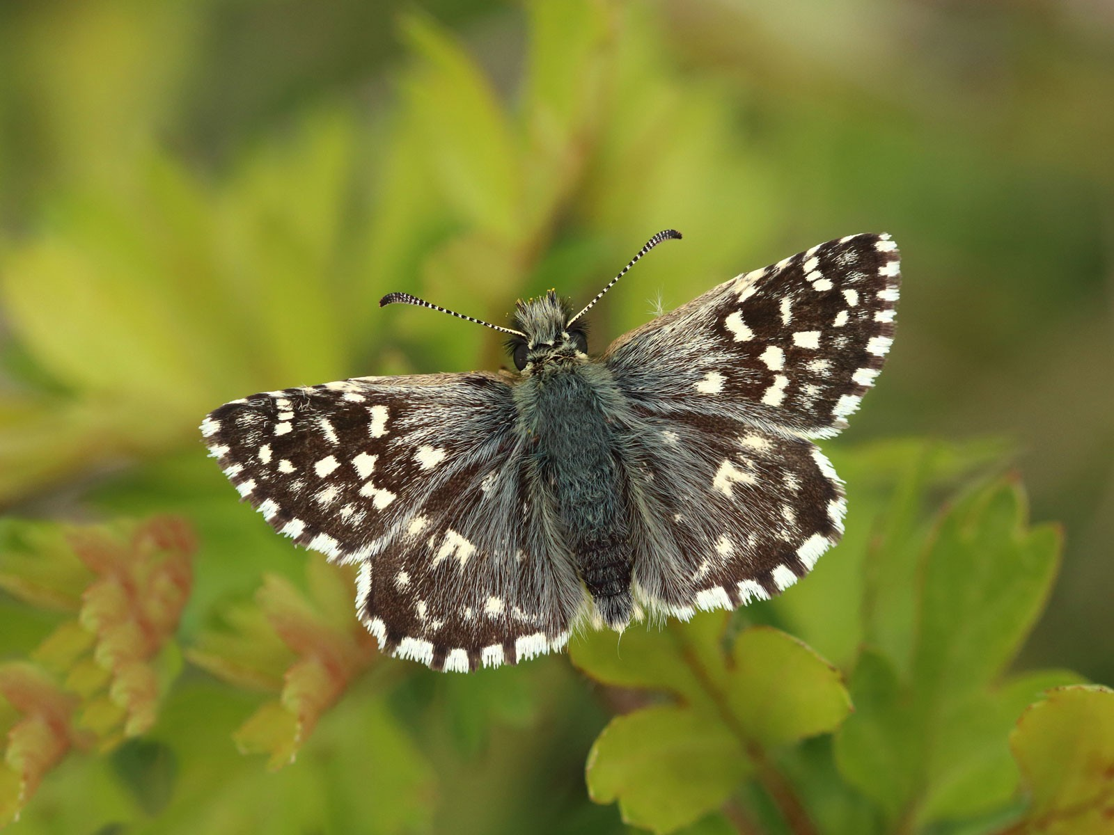 Grizzled-Skipper_Mark-Searle-Butterfly-Conservation-8e90240