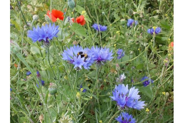 Gunnersbury_Triangle_Wildflower_Meadow_with_Bumblebee-0ff057f