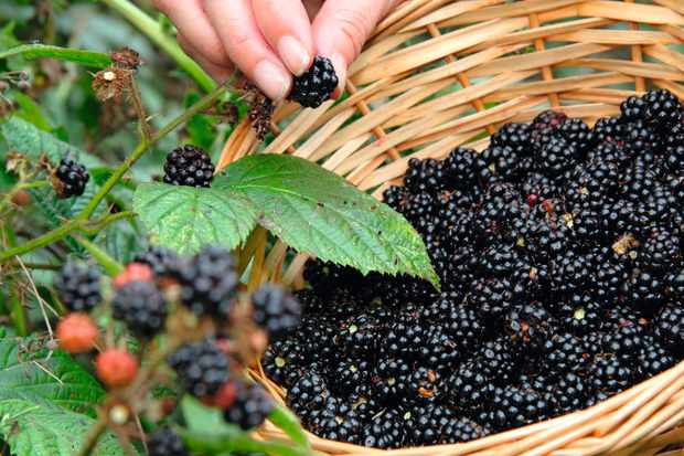 H99WCP Wild blackberries are picked from a hedgerow in the English countryside on a fine day in early autumn