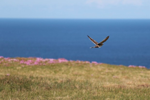The high heather plateau is an ideal hunting ground for small birds of prey