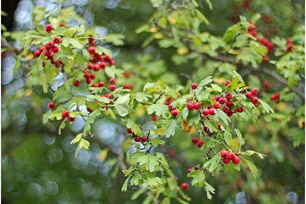 "Crataegus from the Greek kratos ""strength"" and akis ""sharp"", referring to the thorns of some species commonly called hawthorn, thornapple,May-tree,whitethorn, or hawberry, is a large genus of shrubs and trees in the family Rosaceae, native to temperate regions of the Northern Hemisphere in Europe, Asia and North America. Serbian and Croatian folklore notes hawthorn (Serbian ???? / glog, Croatian glog) is particularly deadly to vampires, and stakes used for their slaying must be made from the wood of the thorn tree"