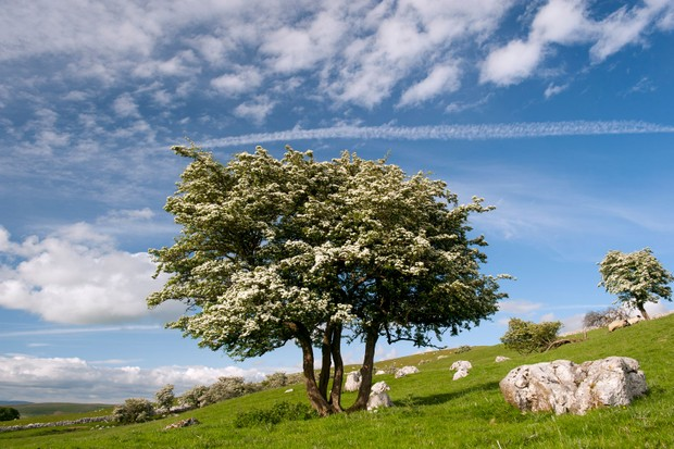 Hawthorntree-6c45a56