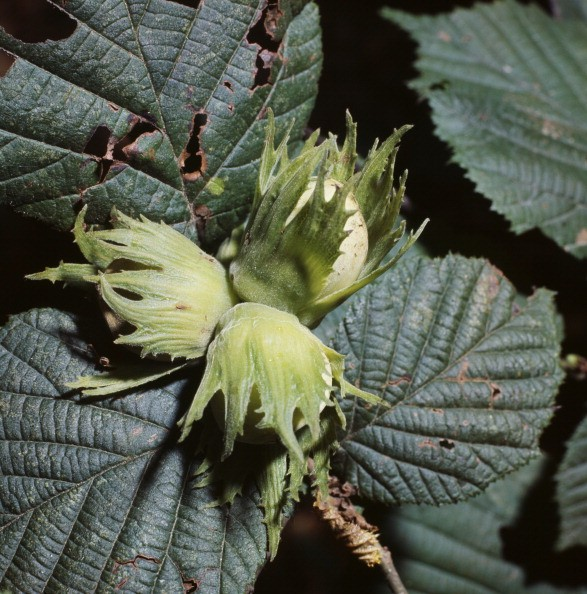 UNSPECIFIED - JANUARY 27: Hazelnuts (Corylus avellana), Betulaceae. (Photo by DeAgostini/Getty Images)