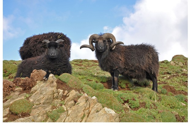 Hebridean ram, Known as a stocky hardy breed this animal lives on the wild slopes on Baggy Point in North Devon, Exposed to the westerly winds brown straight off the Atlantic Ocean the animal is very much at home, a popular sight with walkers on the southwest coast path.
