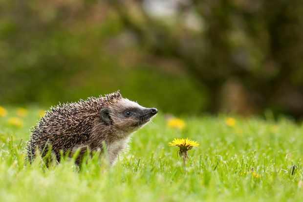 Hedgehog-1-2099c2f