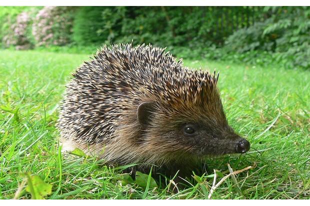 Hedgehog-2-232b038
