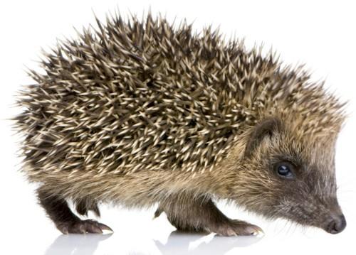 Hedgehog-eb8c657