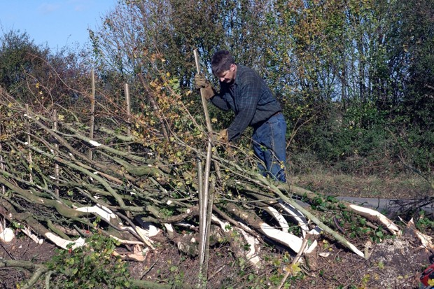 Hedgelaying-c21716b