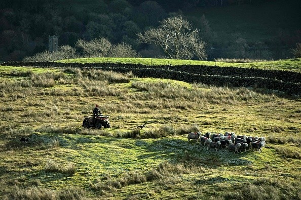 Hill farmer Pip Simpson rounds up Herdwick sheep on his farm on Wansfell, a hill in the Lake District National Park, near the town of Ambleside, northern England on November 24, 2017.  / AFP PHOTO / OLI SCARFF        (Photo credit should read OLI SCARFF/AFP/Getty Images)