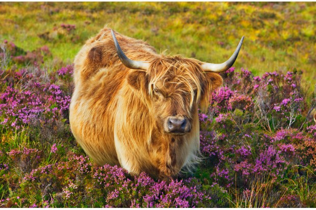 Highland Cattle graze the clifftops ©Getty