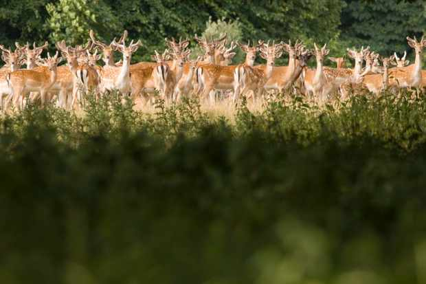 Herd of deer in parkland on the Holkham Hall estate in Norfolk